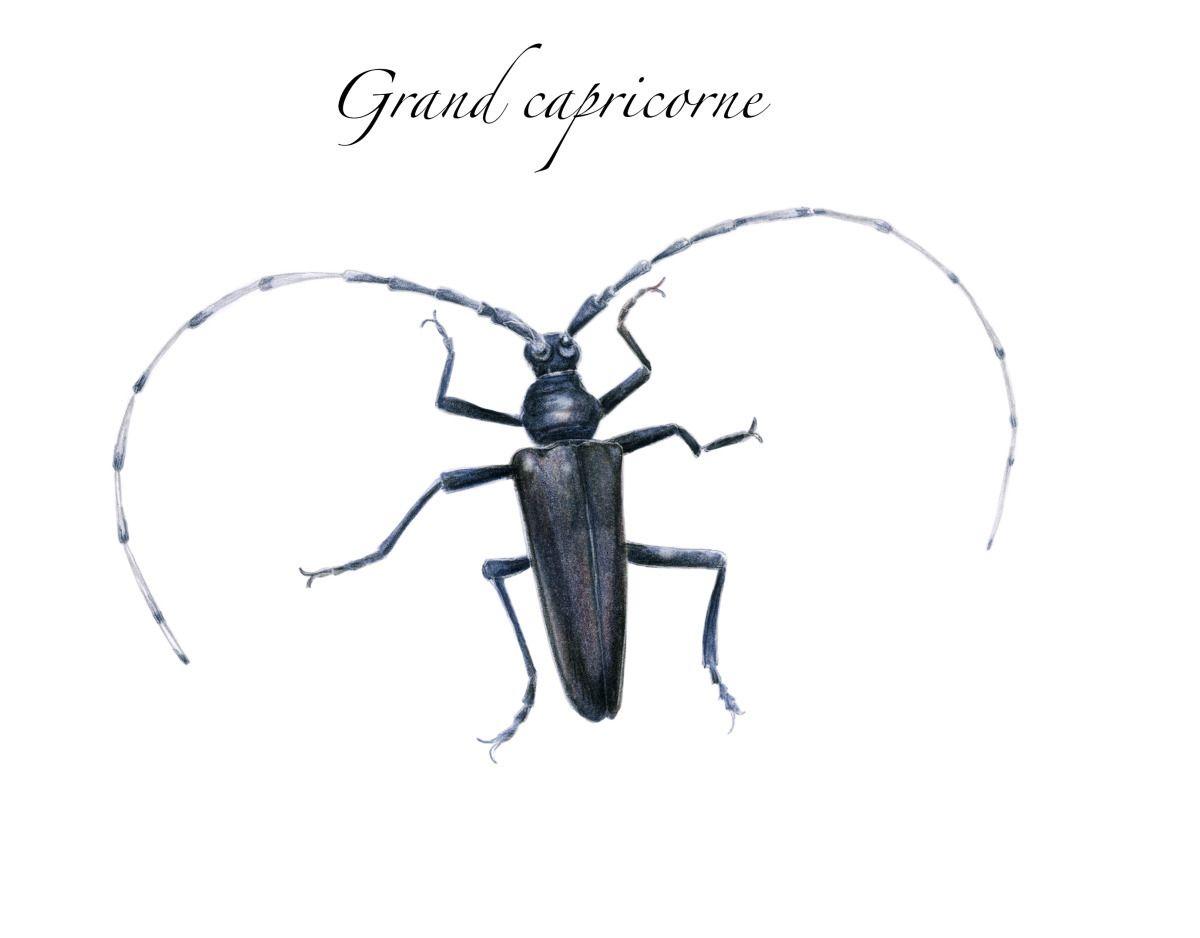 Capricornes Les Methodes Pour Les Eliminer Insectes Xylophages