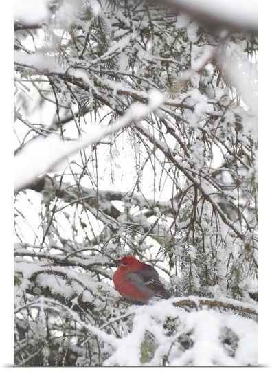 Pine Grosbeak On Snowy Branch Winter SC Alaska
