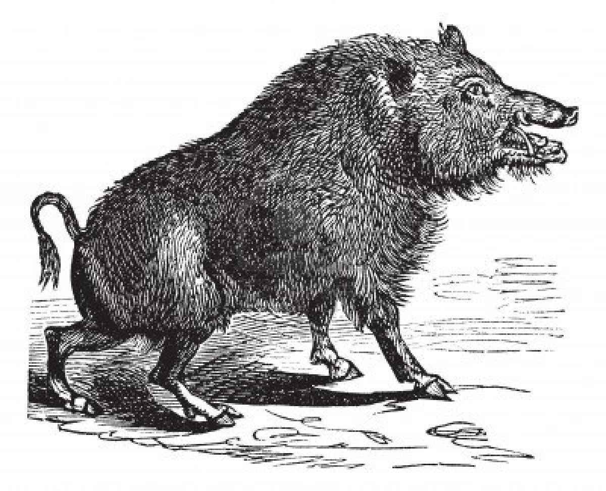Wild boar or Sus scrofa or Wild pig or Wild hog or Razorback | Кабан ...