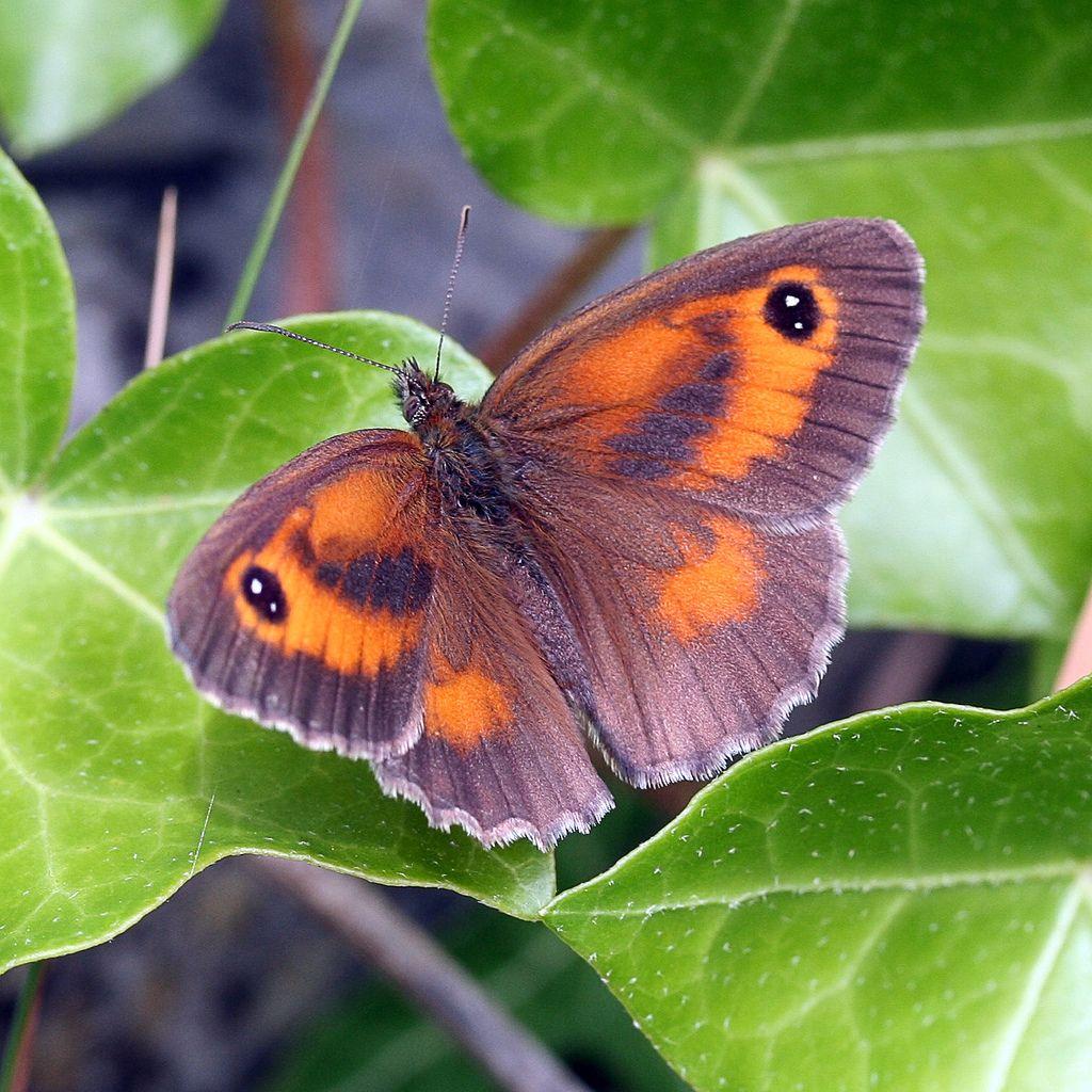 gatekeeper butterfly - Butterflies To Color 2
