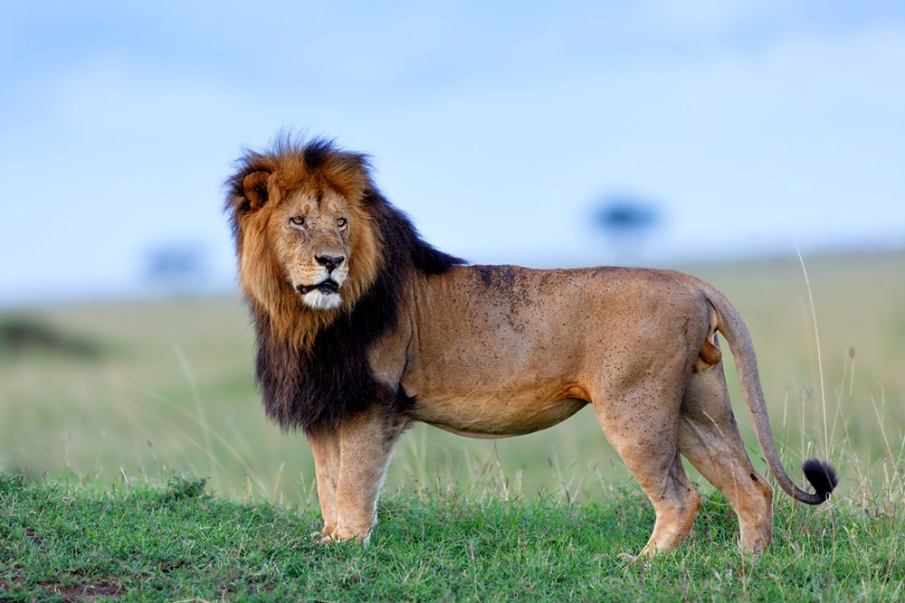 Lion in the Serengeti via @harpertravel