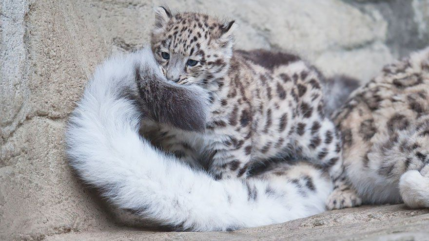 So Small But Already A Bite Music Indieartist Chicago Baby Snow Leopard Snow Leopard Animals