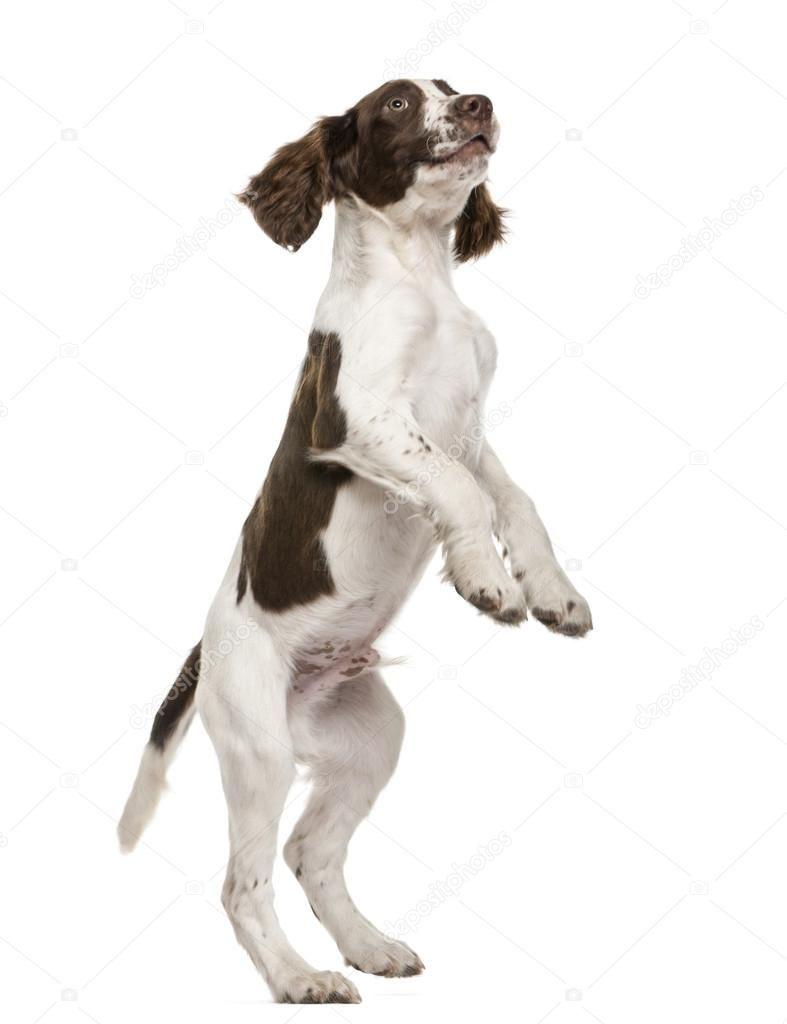 English Springer Spaniel standing on hind legs against