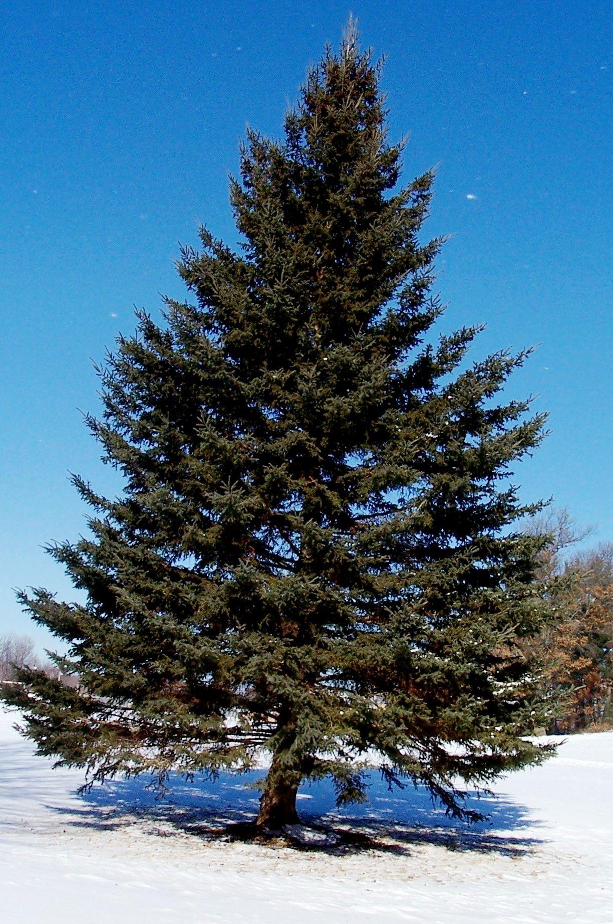 pine tree - Google Search | Trees | Pinterest | Pine tree