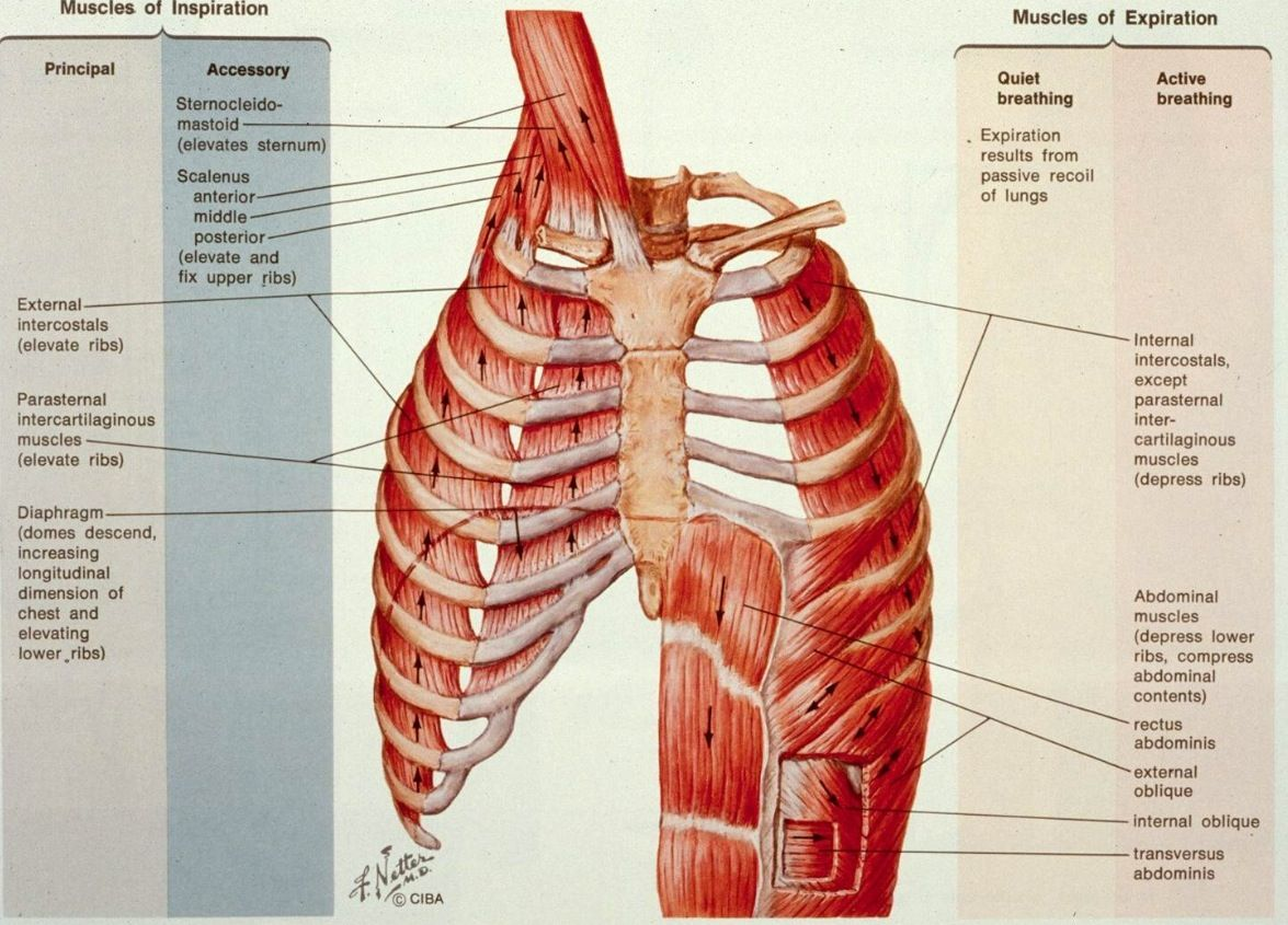 Muscles of inspiration and expiration - Netter | Anatomy | Pinterest ...
