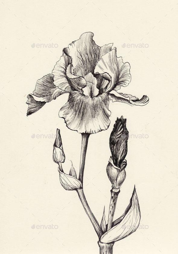 Iris Flower Ink And Pen Original Drawing Iris Drawing Ink Illustrations Ink Pen Drawings