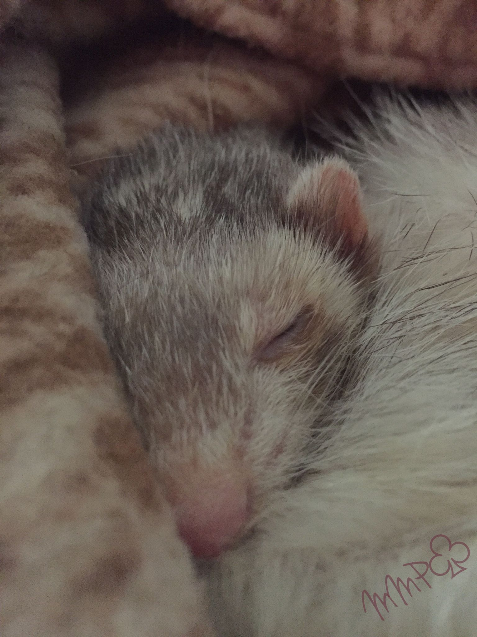 Pin By Spiffy Pet Products On Weasles Small Pets Ferret Pets