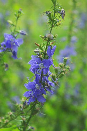 Wildflower Tall Bellflower Campanula Americana Here S A