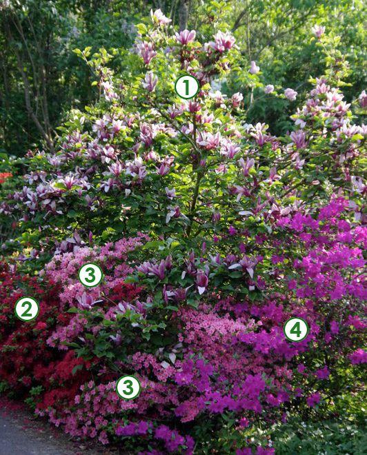 magnolia et azal es japonaises pour un d but de printemps color recr ez cette sc ne de jardin. Black Bedroom Furniture Sets. Home Design Ideas