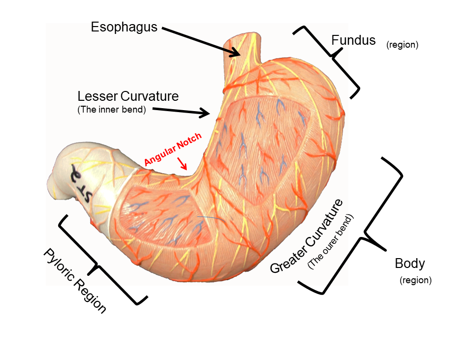 Image Showing The External Structures Of The Stomach Model St2 Labeled Stomach Digestive System Image Shows