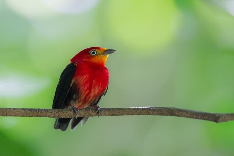 Crimson-hooded Manakin (Pipra aureola) A male perching on a branch