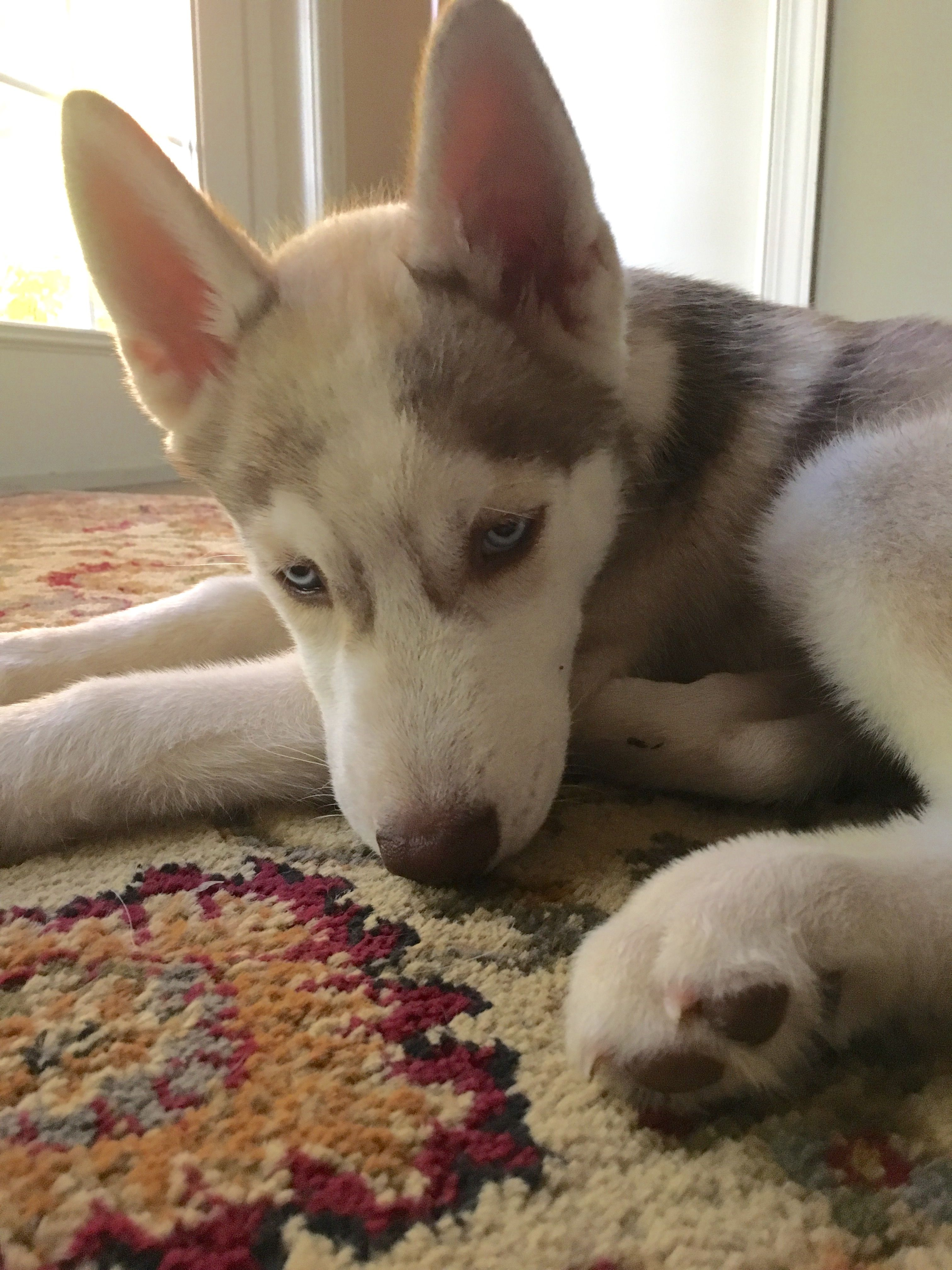 Husky Puppy 3 Months Old Tan And White With Blue Eyes With