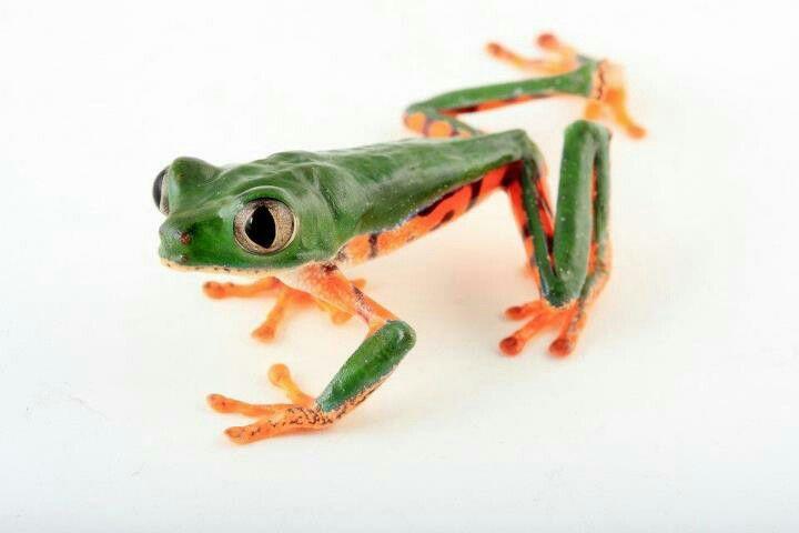 Anfibios, agalychnis calcarifer