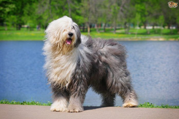 11 Big Fluffy Dog Breeds Perfect To Cuddle With Big
