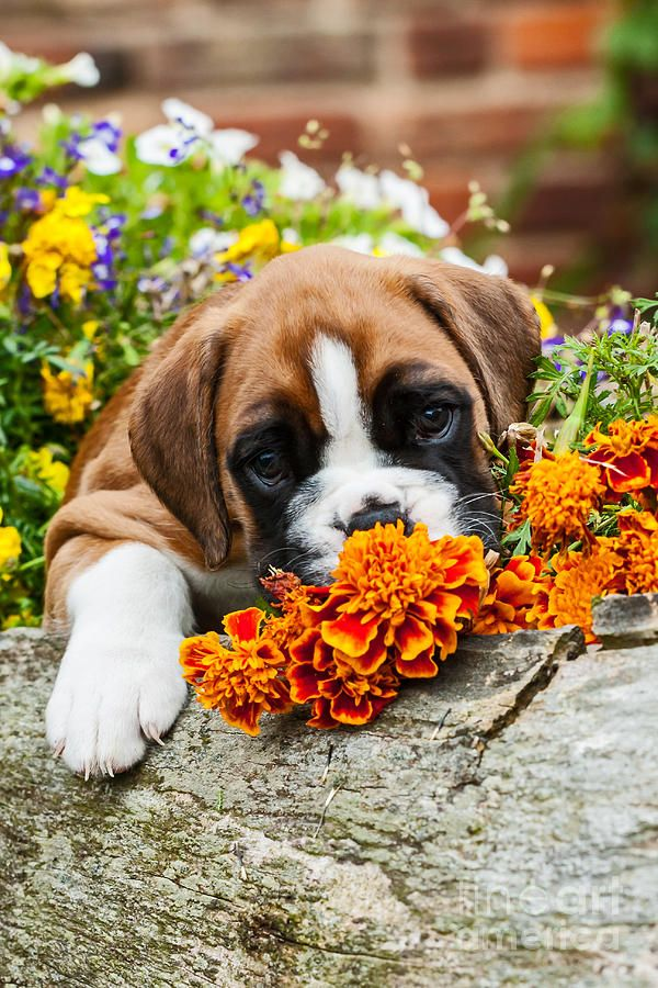 little Boxer Dog puppy and flowers