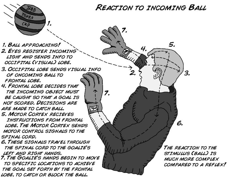 Experiment: How Fast Your Brain Reacts To Stimuli ...