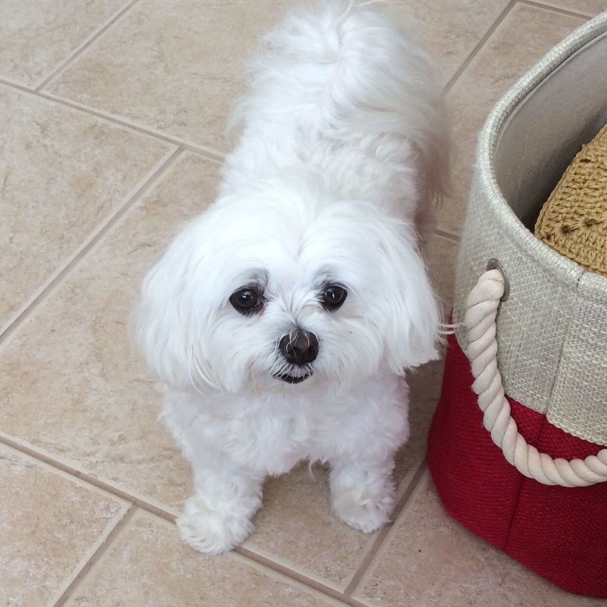 Sweet Maltese maltese Maltese dogs, Maltese, Cute cats