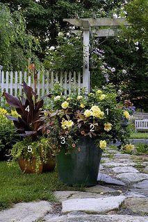 Flower Carpet roses, Tropicanna cannas - mixed container gardens