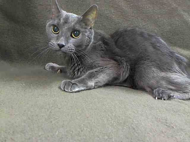 GONE --- TO BE DESTROYED 12/22/13 Manhattan Center  My name is XAVIER. My Animal ID # is A0987641. I am a neutered male gray domestic sh mix. The shelter thinks I am about 10 YEARS old.URGENT MEDICAL...ABANDONED and BETRAYED by LYING, DESPICABLE, DISGUSTING EX OWNERS...Xavier is BEAUTIFUL, SWEET, and GENTLE and DESERVES 2 be loved  https://www.facebook.com/photo.php?fbid=718361451509023&set=a.576546742357162.1073741827.155925874419253&type=3&theater