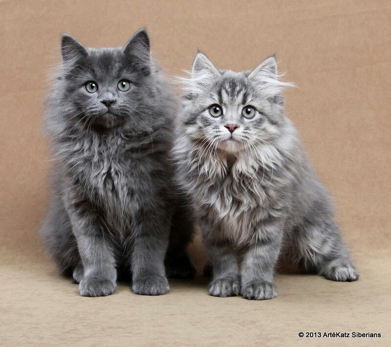 Siberian Kittens Blue Siberian Kittens Eddi And Emmi Siberian Kittens Siberian Cat Gorgeous Cats