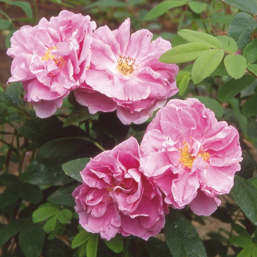 Thérèse Shrub Rose hybrid rugosa, 5 to 7 feet