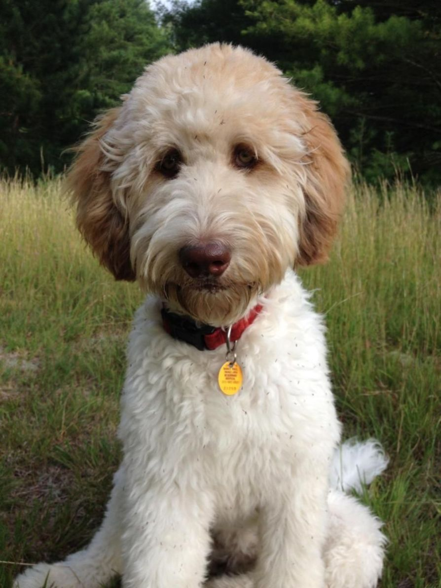 how to groom a goldendoodle face