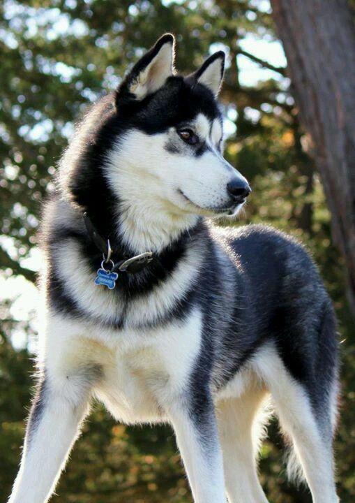 Notitle Photography Beautiful Dogs Malamute Dog Husky Dogs