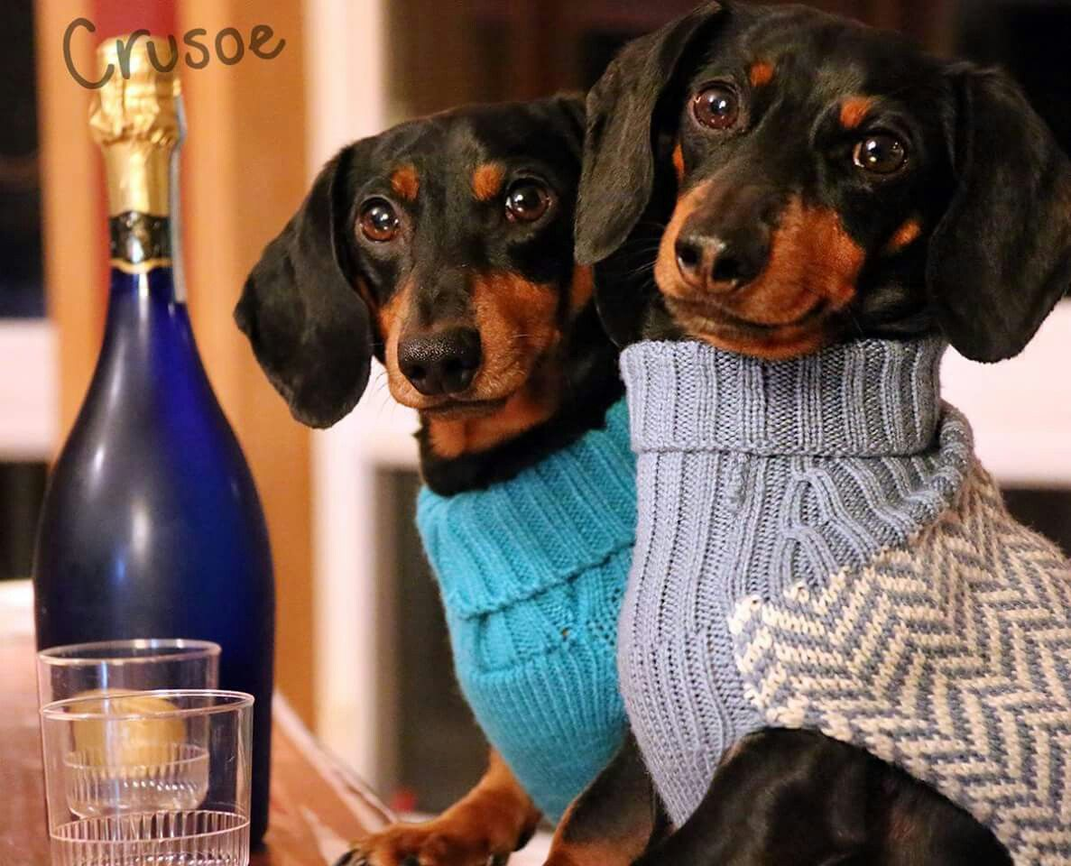 Must Be Date Night Crusoe The Celebrity Dachshund Dachshund