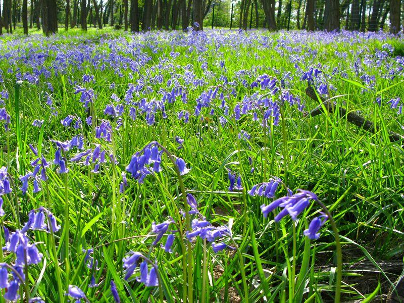 Jacinthe Des Bois Hyacinthoides Non Scripta Jacinthe Fleurs Et Prairie