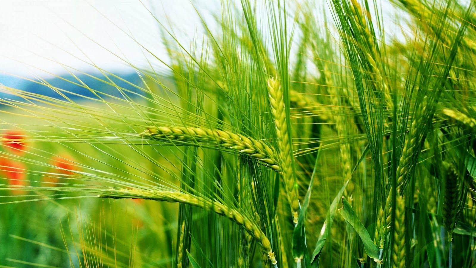 Wheat Green Nature 1080p Wallpapers Hd Green Nature Wallpaper Hd Nature Wallpapers Transparent Wallpaper
