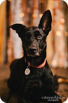 Doberman Pinscher German Shepherd Dog Mix Dog For Adoption In