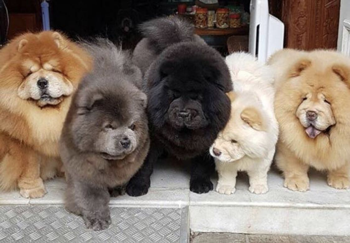 It S So Fluffy I Could Die With Images Chow Chow Puppy