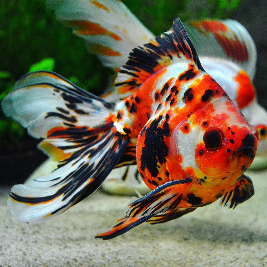 Jupiter The Goldfish Carolim3 Goldfish Fish Pet Photo
