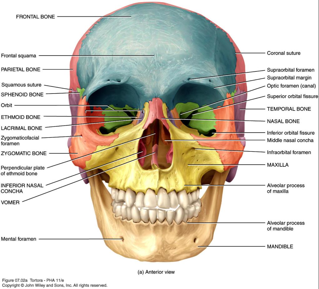 Excepcional Anatomía Estrías Definición Galería - Anatomía de Las ...