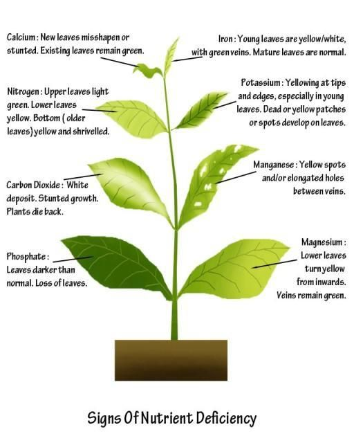 A Visual Guide To Plant Nutrient Deficiency (Tomato Plant ...