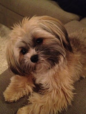 Shorkie Grooming Styles Shorkie Dogs Grooming Style Cute Dog Pictures