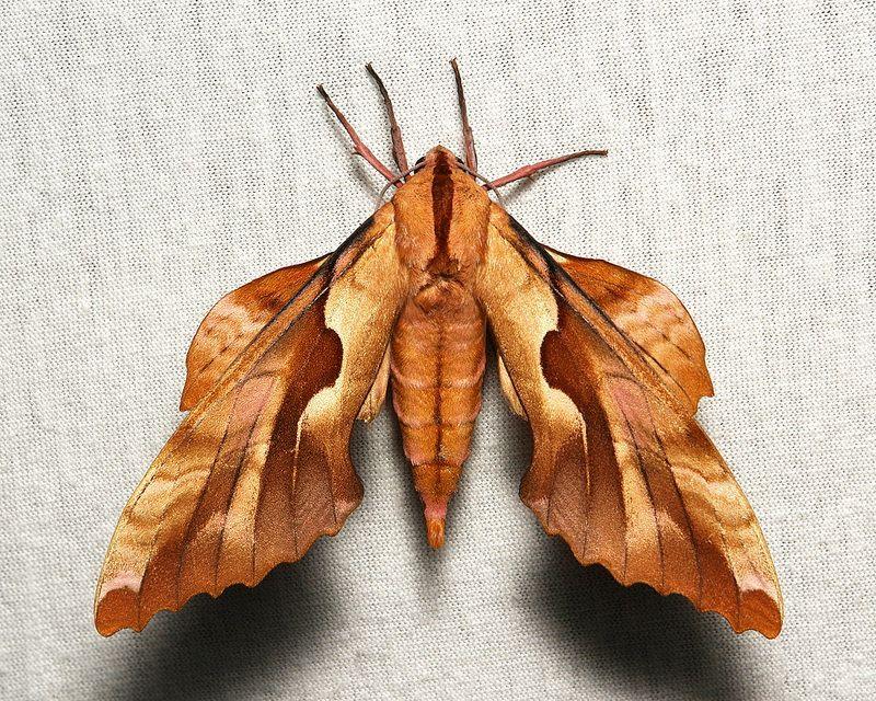 Hawk Moth http://sinobug.tumblr.com/