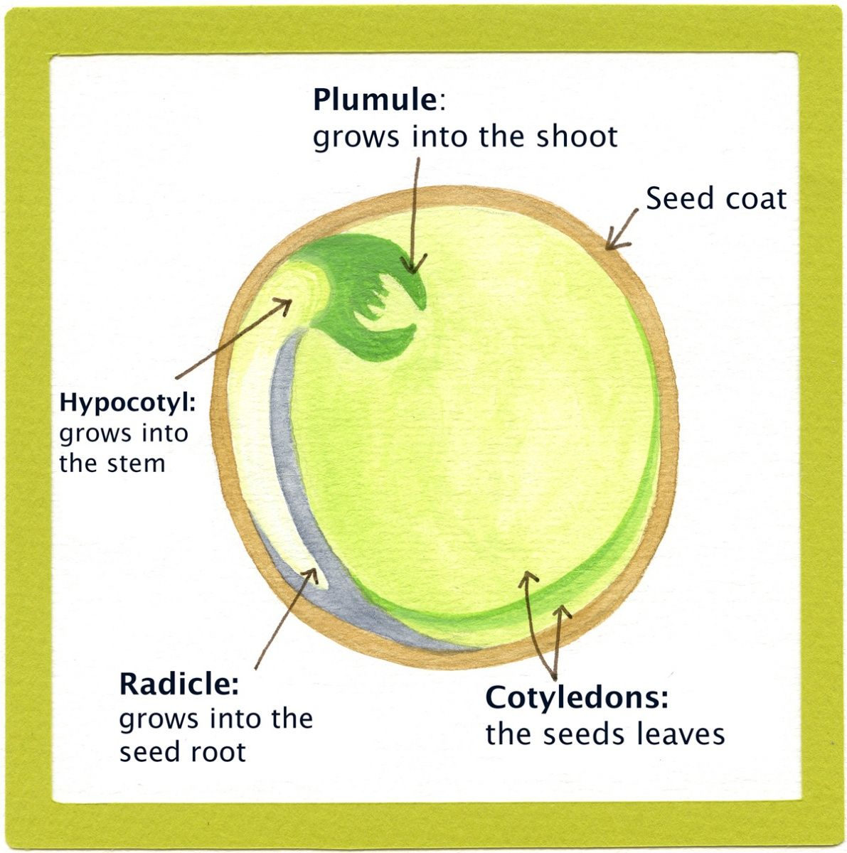 Parts Of Seeds And Their Functions