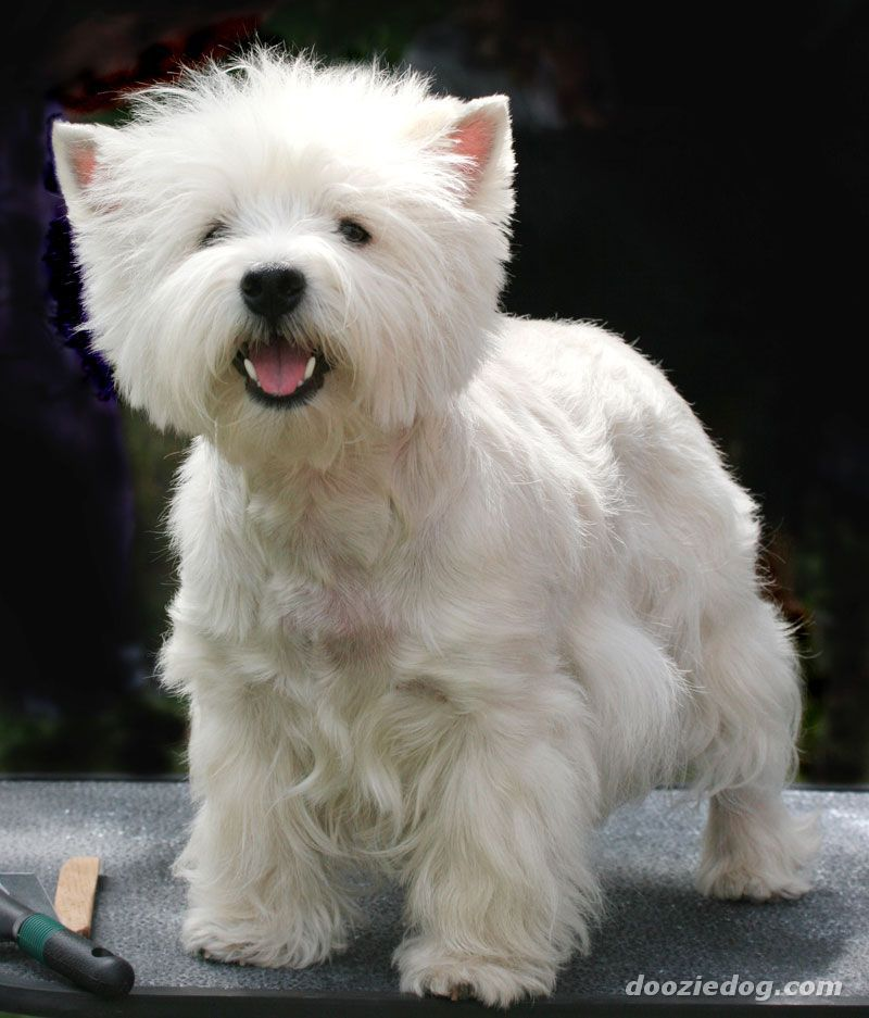 Westies Are Too Cute If I Ever Get Another Dog With Images Cute Dogs And Puppies Westie Dogs Westies