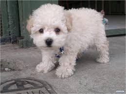 Resultado De Imagen Para French Poodle Poddle Dog Pictures Animals