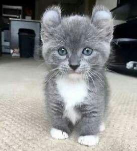 Short Leg Curl Ears Meet The Kinkalow Cats Cute