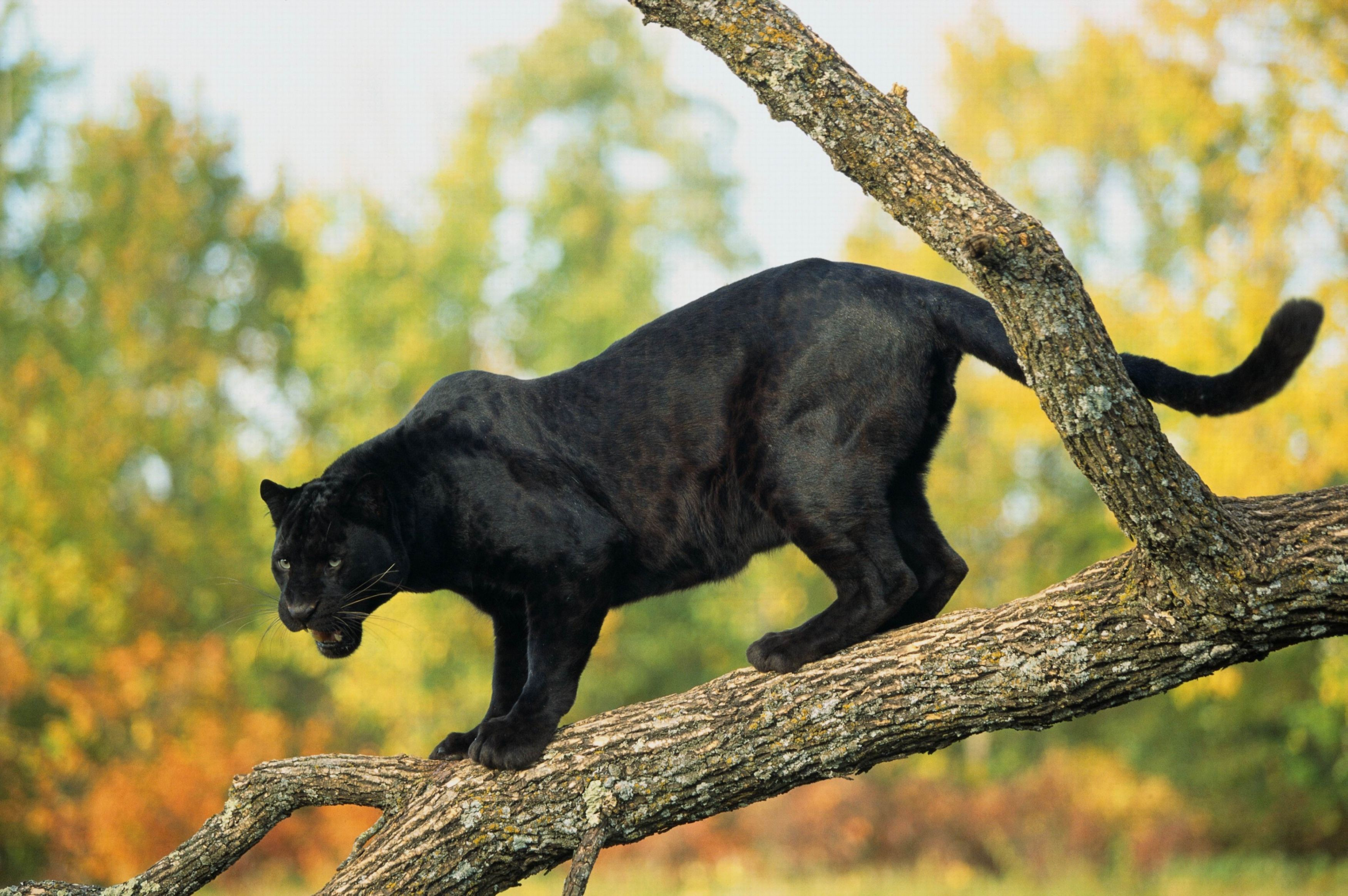 crouching black panther Google Search Black jaguar