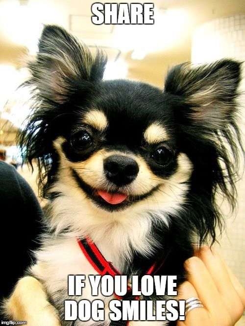 Funny Chihuahua Meme Smiling Funny Pups Pinterest Chihuahua Chihuahua Dogs And Puppies