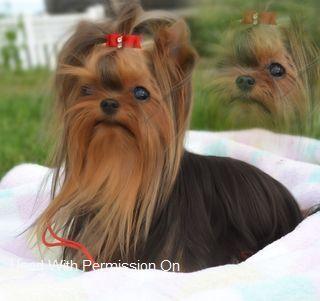 Yorkshire Terrier Dog Puppy Websites Yorkshire Terrier Yorkie