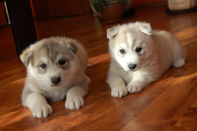 Siberian Husky Fantastic Puppies For Sale In Aberdeenshire Scotland Puppies Puppies For Sale