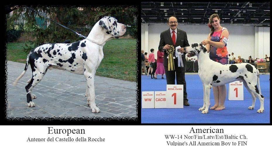 Vulpine Great Danes Euro Vs American Euro Vs American Great