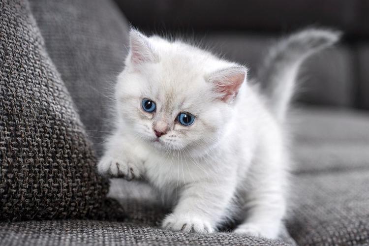 Süßes Bkh Kitten Bärchen Mary X Mas In Tabby Point