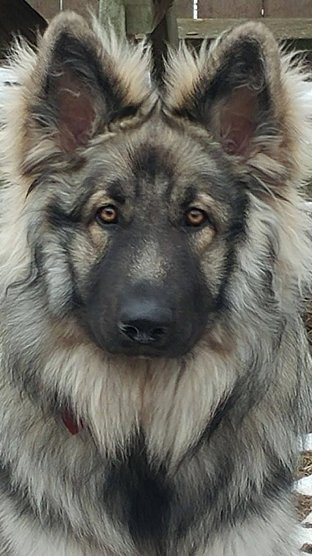 Beautiful Face Impression Of A Typical German Shepherd Shepherd