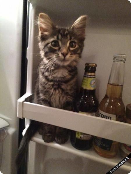 cute kitten in fridge beer