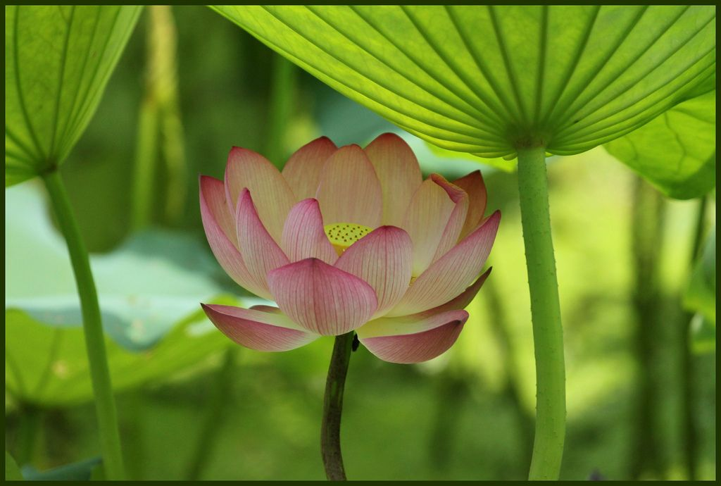Lotus under the sun